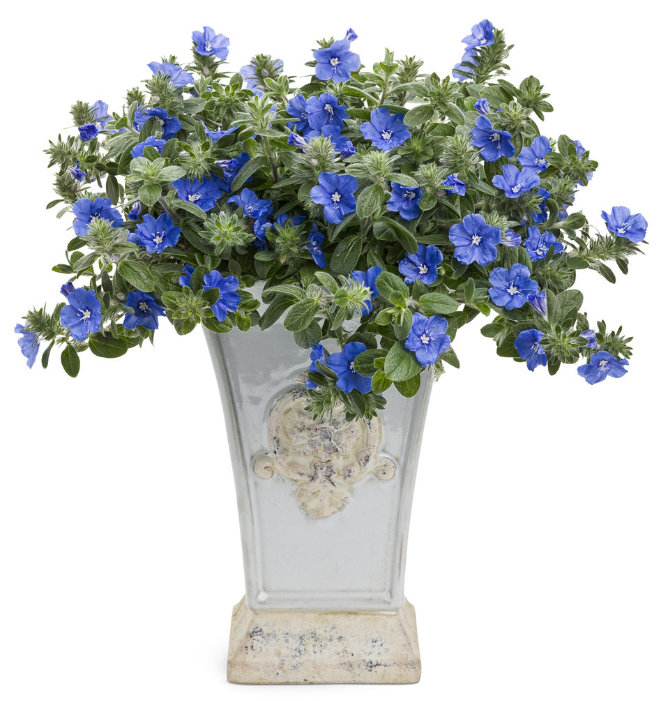 Blue my mind dwarf morning glory evolvulus hybrid proven winners zoom izmirmasajfo