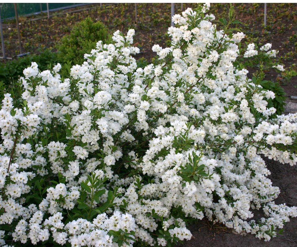 Snow Day Surprise Pearl Bush Exochorda Hybrid Proven Winners