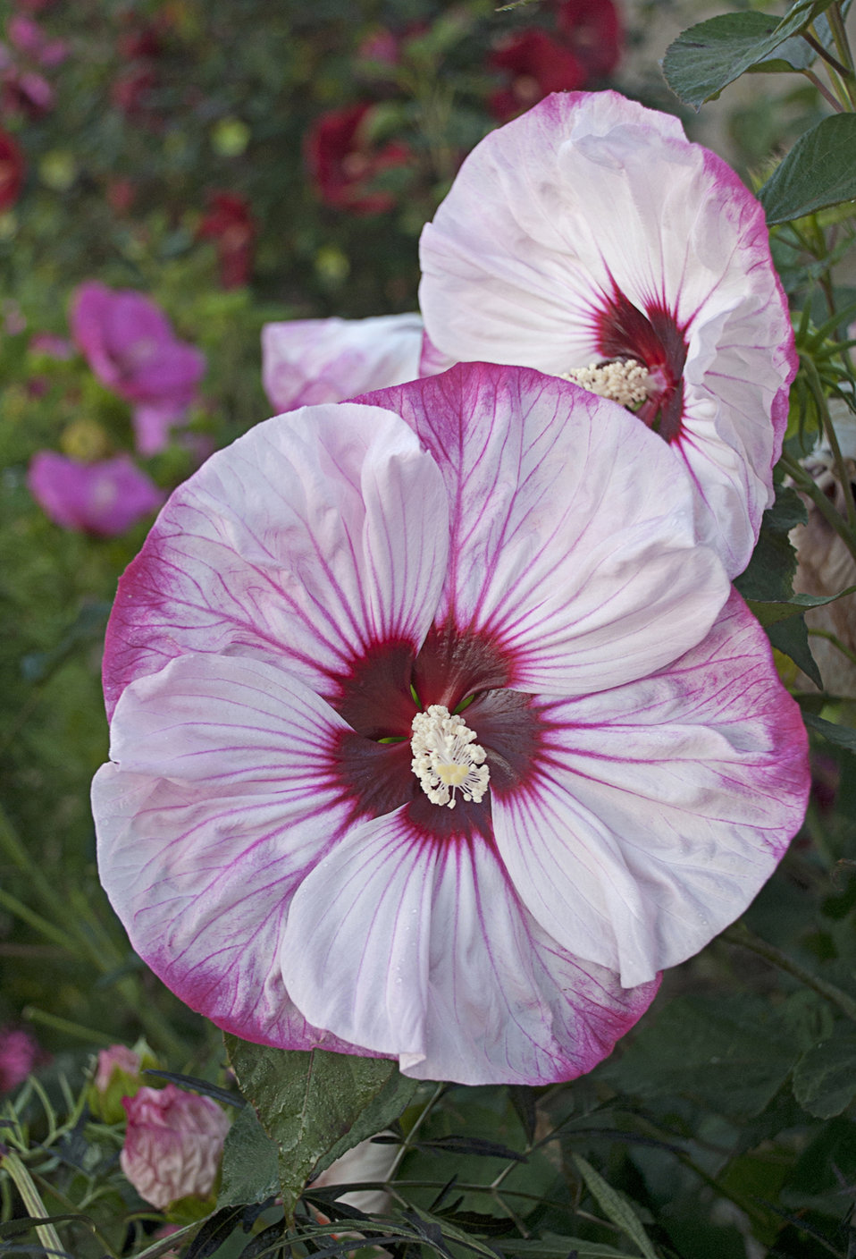 summerific 39 cherry cheesecake 39 rose mallow hibiscus hybrid proven winners. Black Bedroom Furniture Sets. Home Design Ideas
