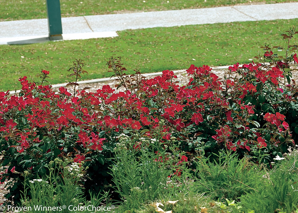 Images For Home Run 174 Landscape Rose Rosa X Proven
