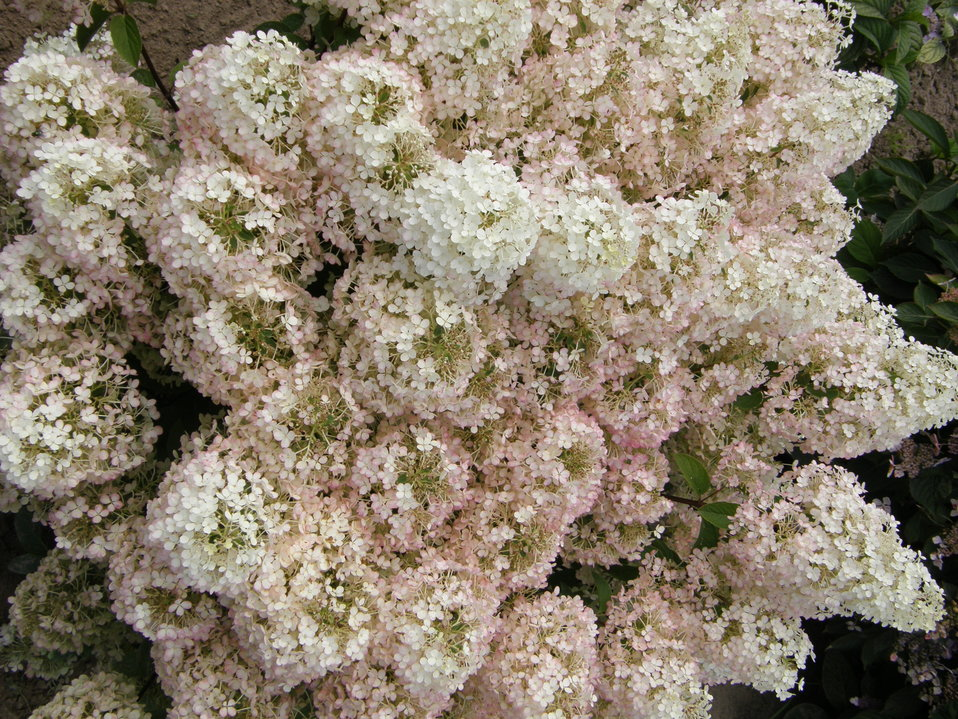 bobo hardy hydrangea hydrangea paniculata proven winners. Black Bedroom Furniture Sets. Home Design Ideas