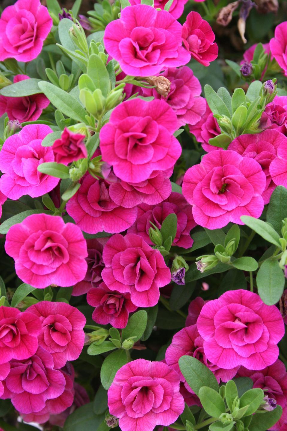 superbells double rose double calibrachoa calibrachoa hybrid proven winners. Black Bedroom Furniture Sets. Home Design Ideas
