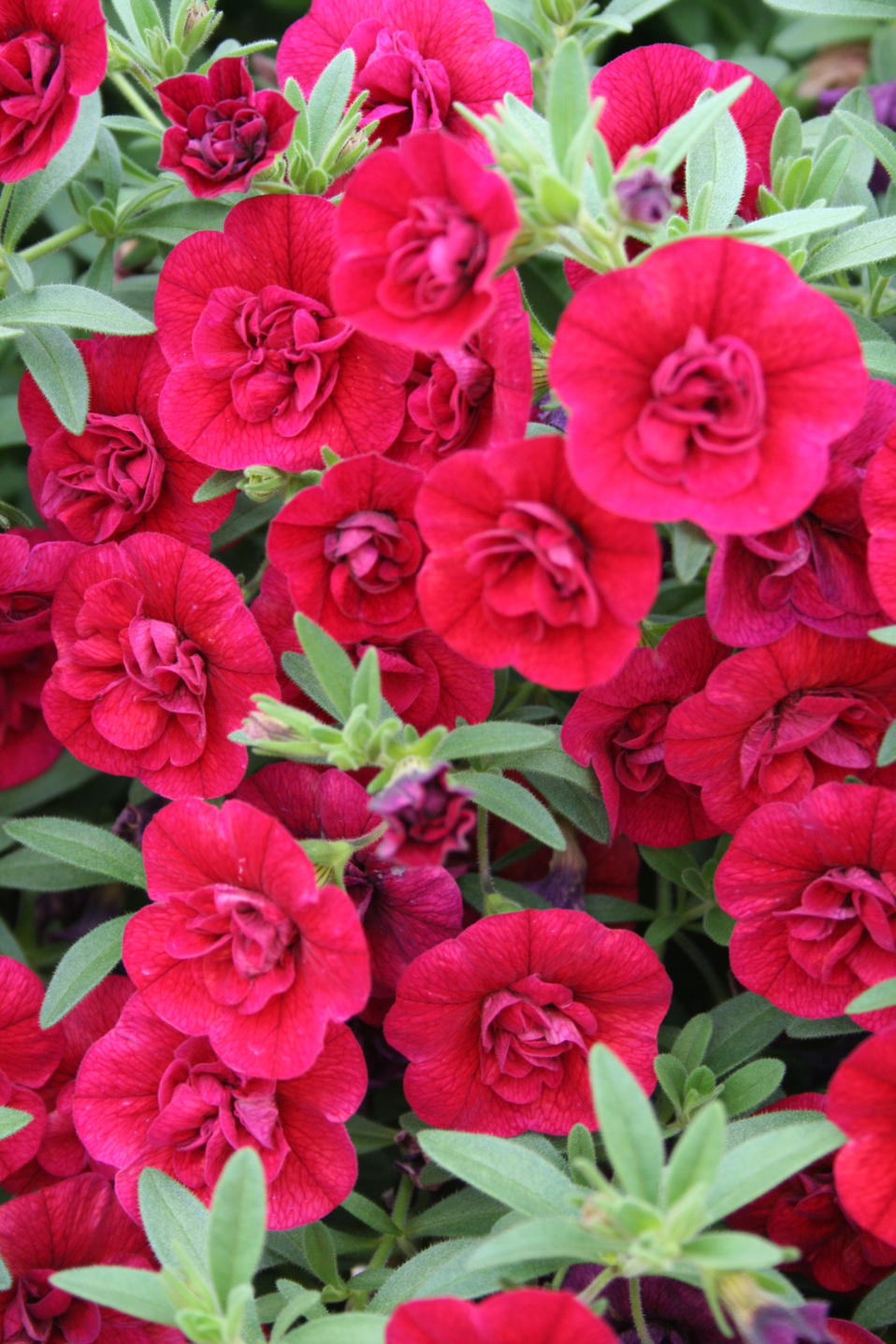 Superbells double ruby double calibrachoa calibrachoa - Calibrachoa superbells ...