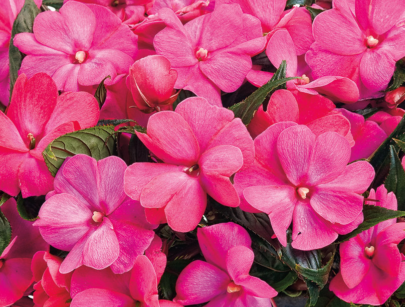 Infinity electric cherry new guinea impatiens New guinea impatiens