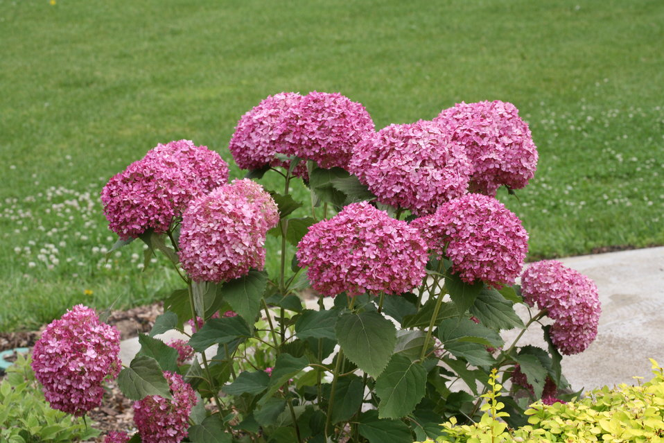invincibelle mini mauvette smooth hydrangea hydrangea arborescens proven winners. Black Bedroom Furniture Sets. Home Design Ideas