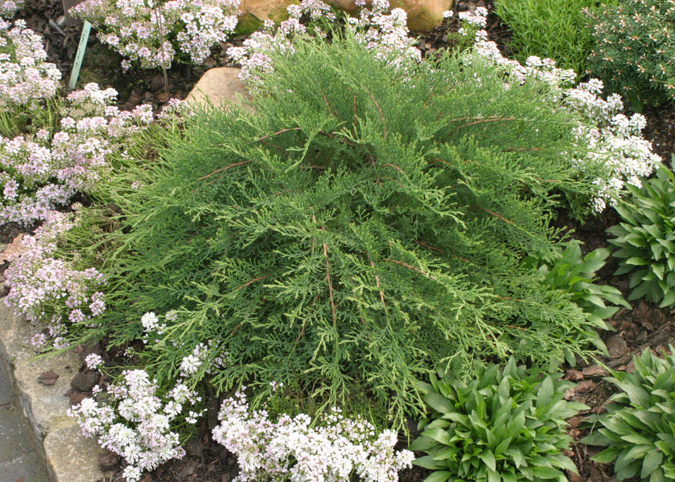 Celtic Pride™ - Siberian Cypress - Microbiota decussata ...