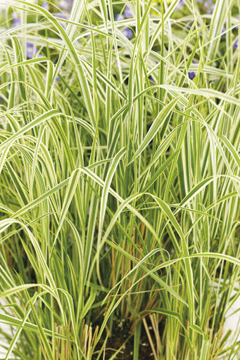 39 overdam 39 feather reed grass calamagrostis acutiflora for Variegated grass plant