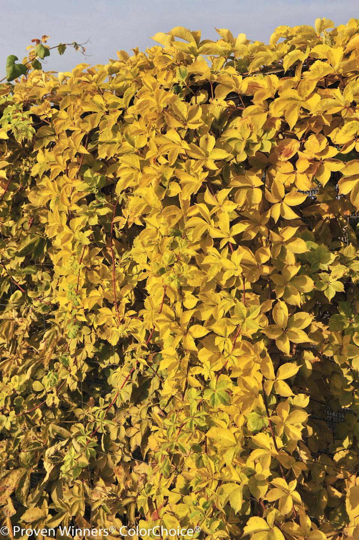 'Yellow Wall' - Virginia Creeper - Parthenocissus ...