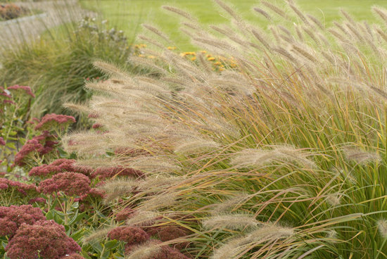 Prairie winds 39 desert plains 39 fountain grass for Hardy fountain grass