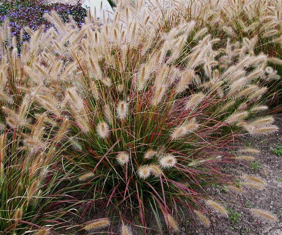 Images for prairie winds 39 desert plains 39 fountain grass for Hardy fountain grass