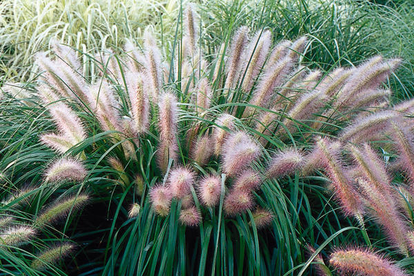 Plants proven winners for Fountain grass for shade