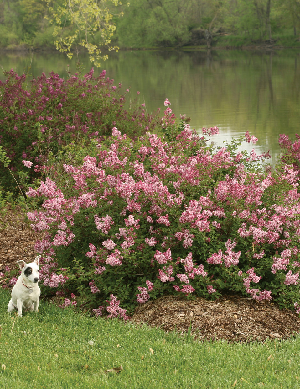 Scent And Sensibility Pink Lilac Syringa X Proven Winners