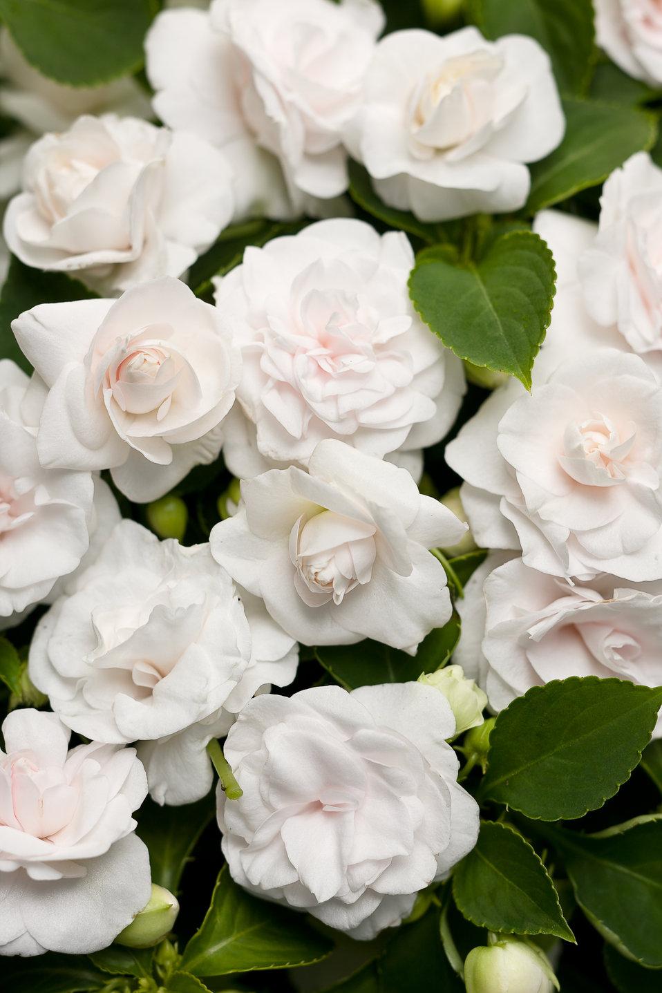 Rockapulco® White - Double Impatiens - Impatiens ... White Impatiens Flowers