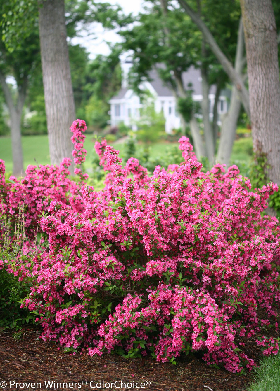 Sonic Bloom Pink Reblooming Weigela Weigela Florida Proven