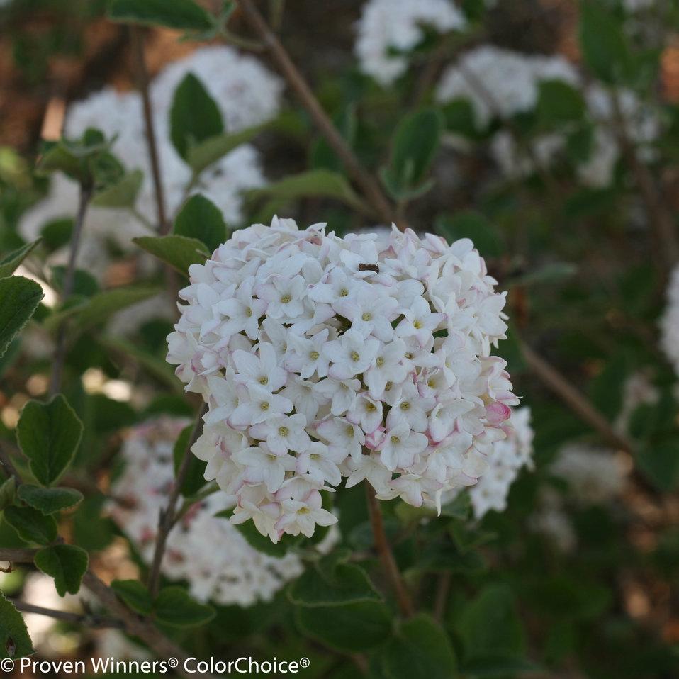 Spice Baby Koreanspice Viburnum Viburnum Carlesii Proven Winners