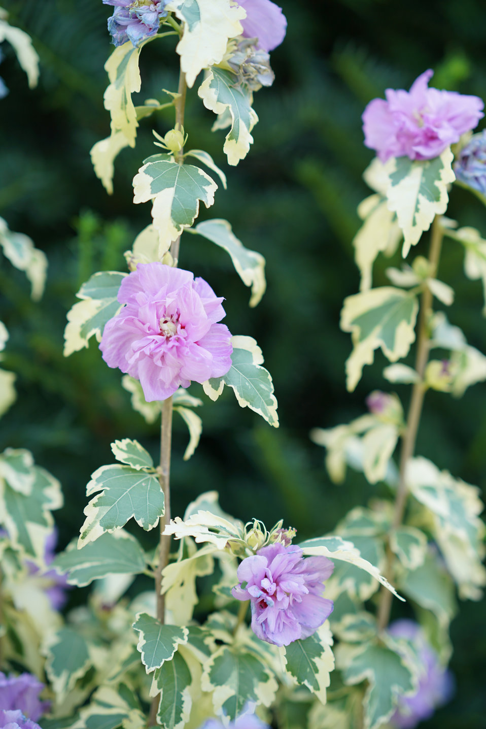 Sugar Tip Gold Rose Of Sharon Hibiscus Syriacus Proven Winners