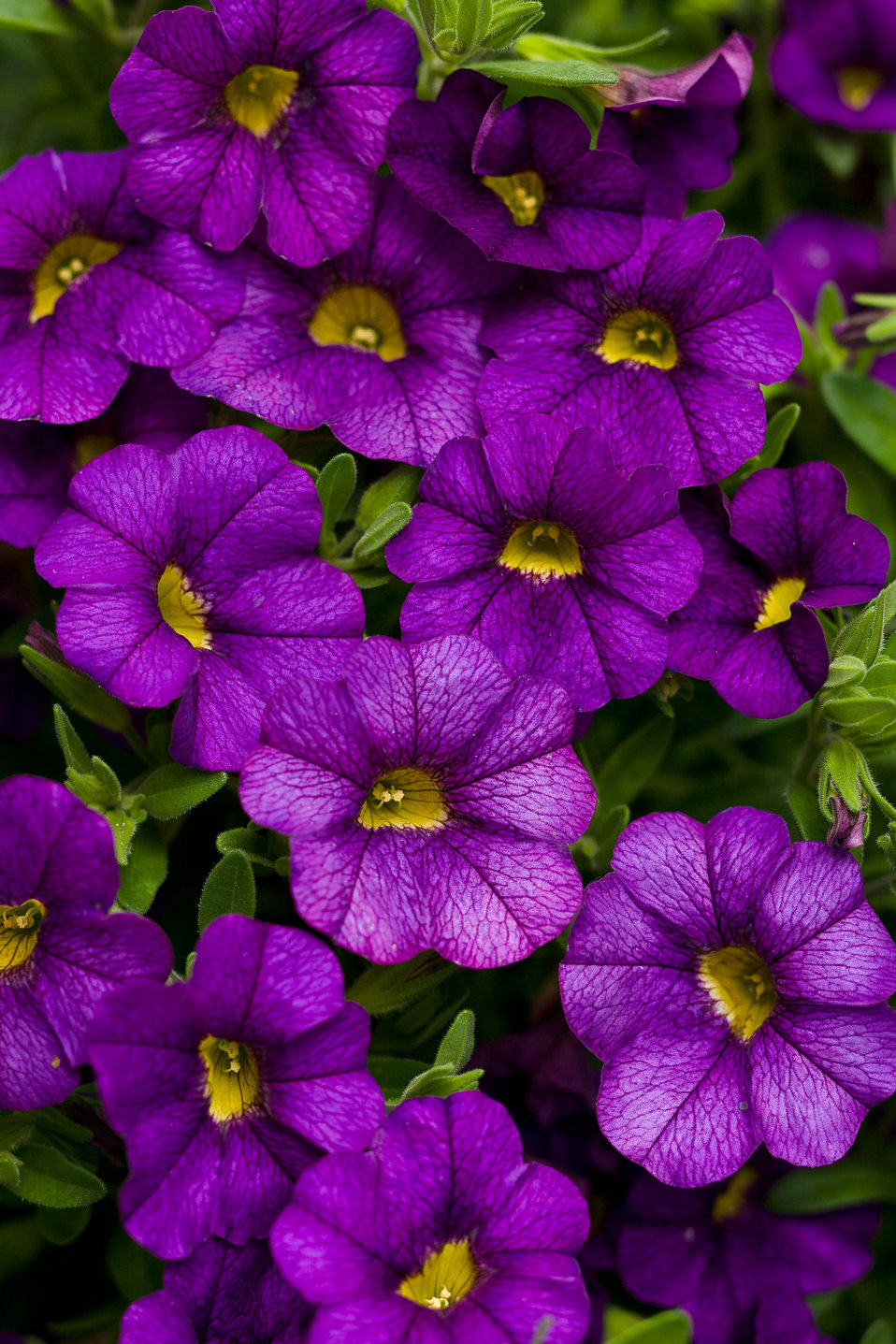 Superbells blue calibrachoa hybrid proven winners - Calibrachoa superbells ...