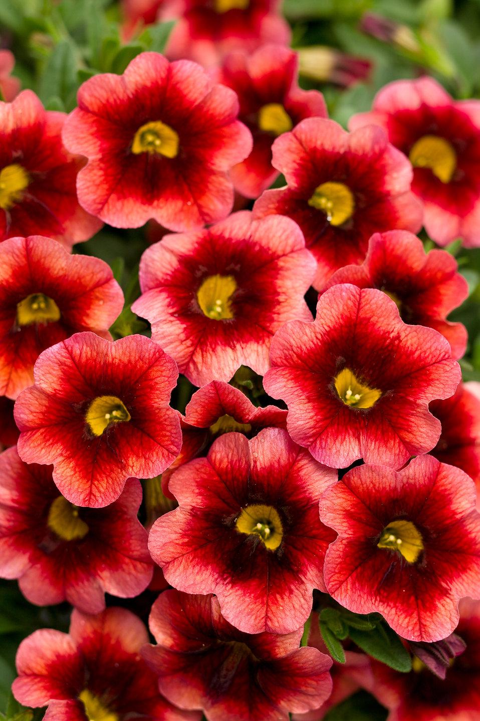 superbells coralberry punch calibrachoa hybrid proven winners. Black Bedroom Furniture Sets. Home Design Ideas