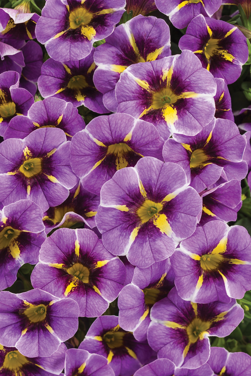 Superbells Evening Star Calibrachoa Hybrid Proven Winners