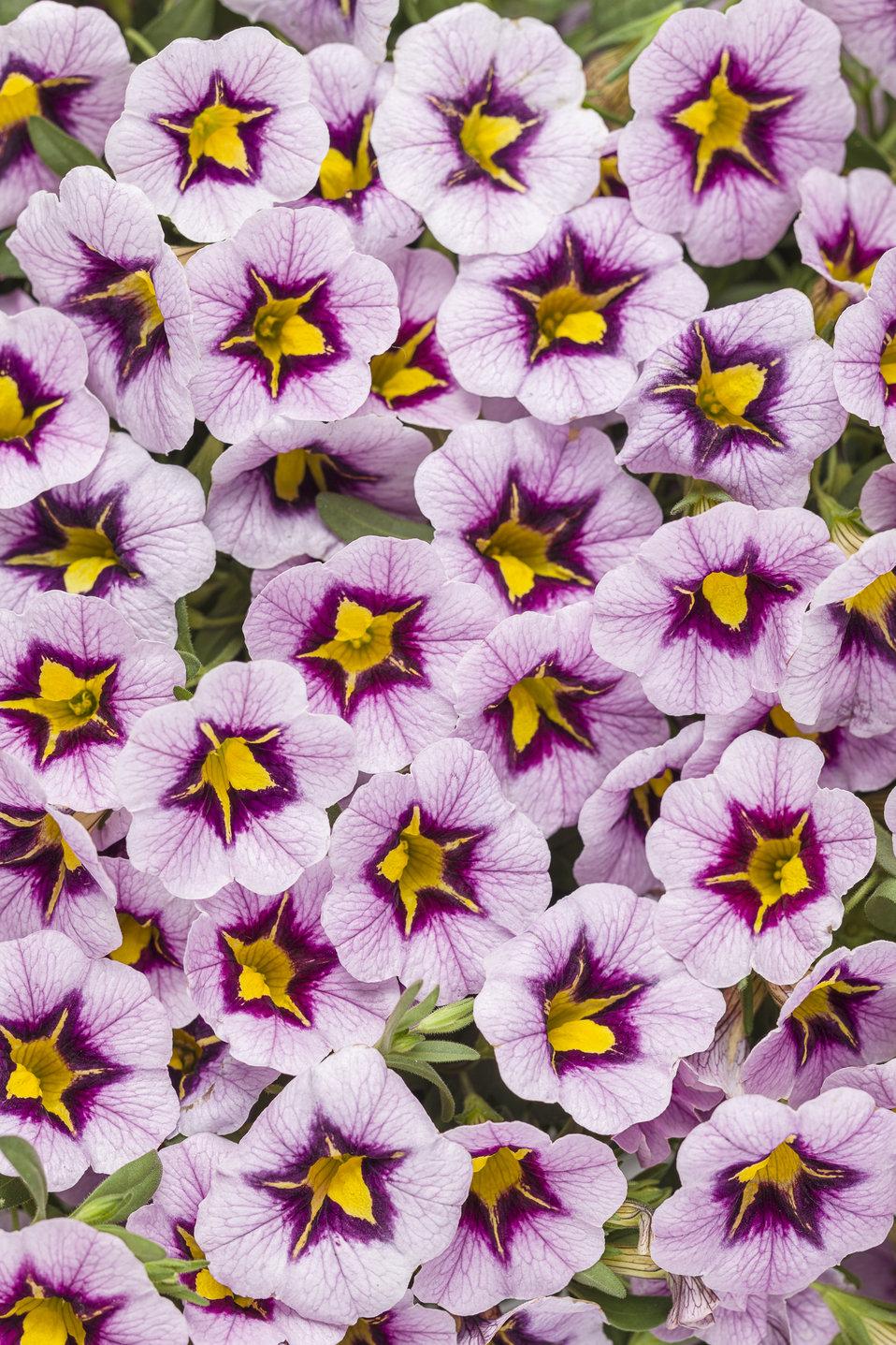Superbells Morning Star - Calibrachoa hybrid   Proven