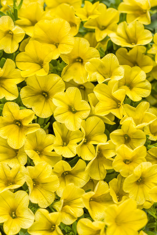 Superbells yellow calibrachoa hybrid proven winners zoom mightylinksfo