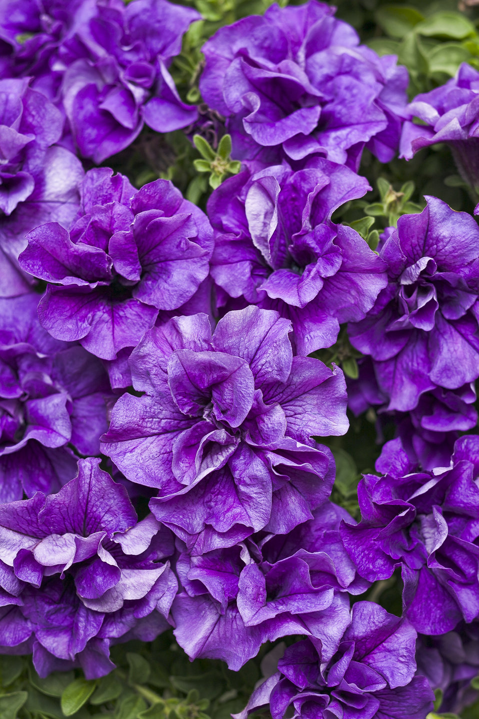 Supertunia 174 Double Dark Blue Petunia Hybrid Proven Winners
