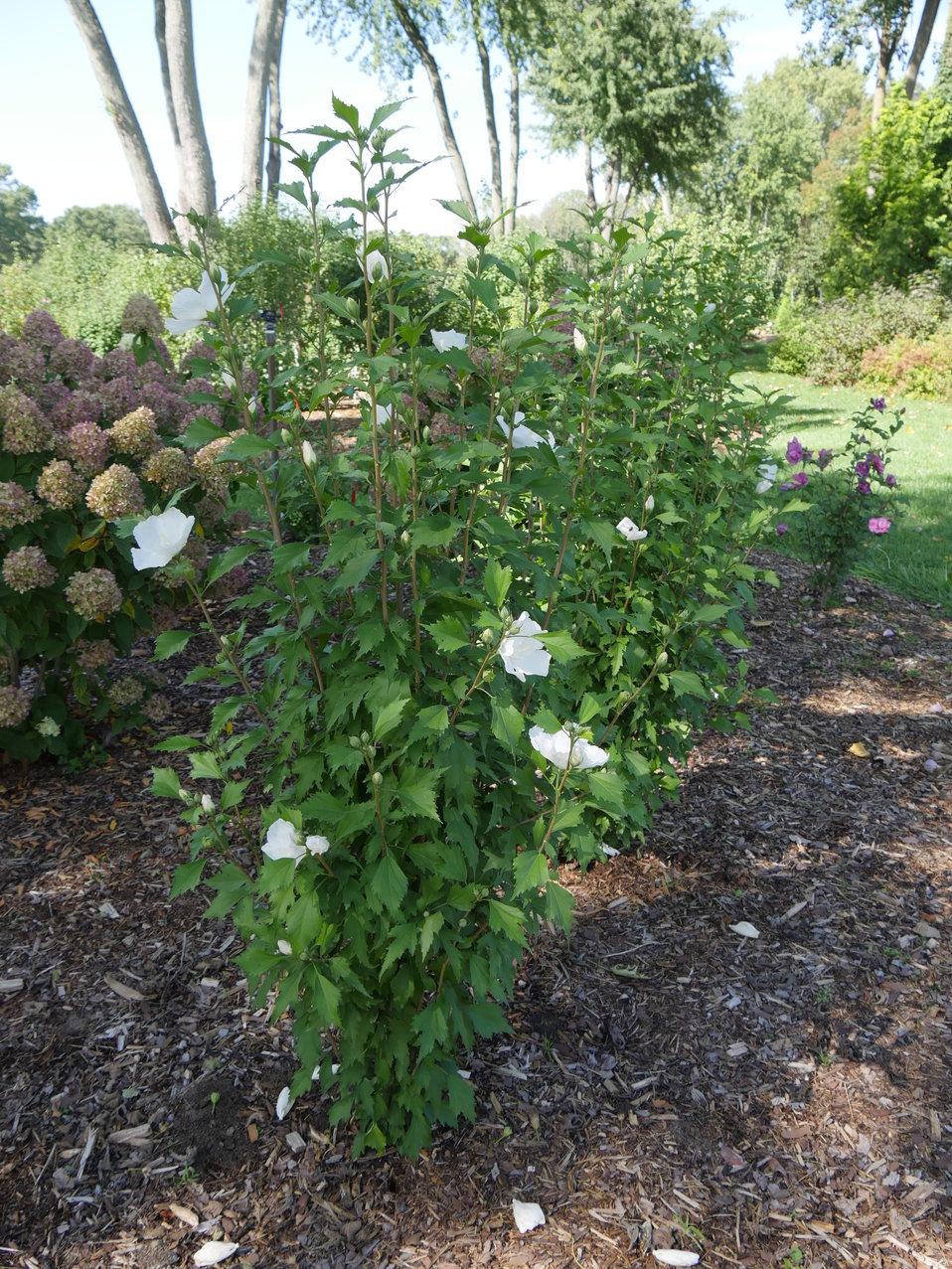 White Pillar Rose Of Sharon Hibiscus Syriacus Proven Winners