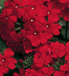 Lanai® Red - Verbena