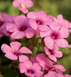 Cottage Pink - Wood Sorrel - Oxalis crassipes