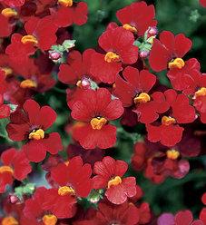 Sunsatia® Cranberry - Nemesia hybrid