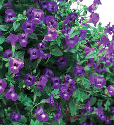 Summer Wave® Large Violet - Wishbone Flower - Torenia hybrid