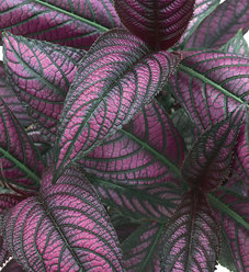 Persian Shield - Strobilanthes dyerianus