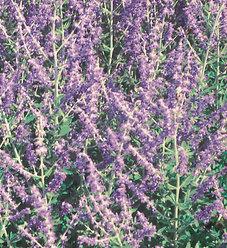 'Little Spire' - Russian Sage - Perovskia atriplicifolia