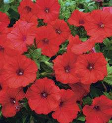 Surfinia® Red - Petunia hybrid