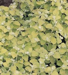 Lemon Licorice - Licorice Plant - Helichrysum petiolare