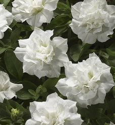 Blanket® Double White - Petunia Double - Petunia hybrid