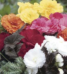 Nonstop® Mocca Mix - Tuberous Begonia - Begonia x tuberhybrida