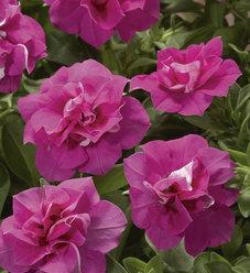 Blanket® Double Rose - Petunia Double - Petunia hybrid