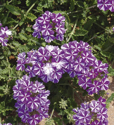 Lanai® Purple Star - Verbena