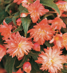 Belleconia™ Soft Orange - Tuberous Begonia - Begonia hybrid