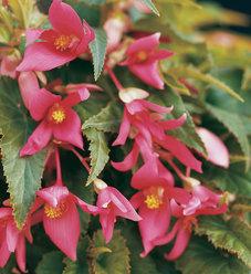 Summerwings® Rose - Tuberous Begonia - Begonia hybrid