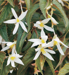Summerwings® White - Tuberous Begonia - Begonia hybrid