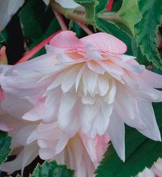 Belleconia™ Apricot Blush - Tuberous Begonia - Begonia hybrid