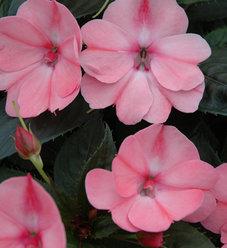 SunPatiens® Compact Blush Pink - Impatiens x hybrida