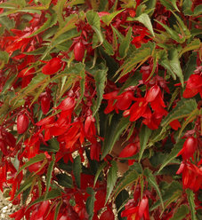 Summerwings® Deep Red - Tuberous Begonia - Begonia hybrid