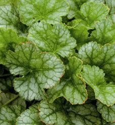 Peppermint Ice - Coral Bells - Heuchera hybrid