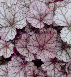 Sugar Frosting - Coral Bells - Heuchera hybrid