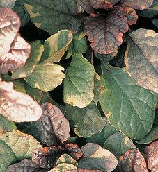 Burgundy Glow - Bugleweed - Ajuga reptans