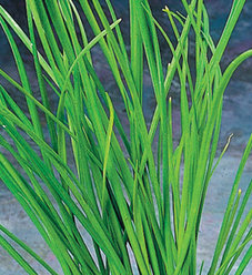 Green Chives - Allium schoenoprasum