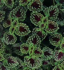 ColorBlaze® Chocolate Drop - Coleus - Solenostemon scutellarioides